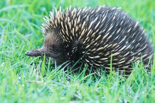 Echidna, Marsupial, A, Australia, Anteater, Cute