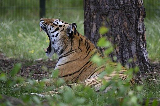 Beekse Bergen, Tiger, Predator, Dangerous, Zoo