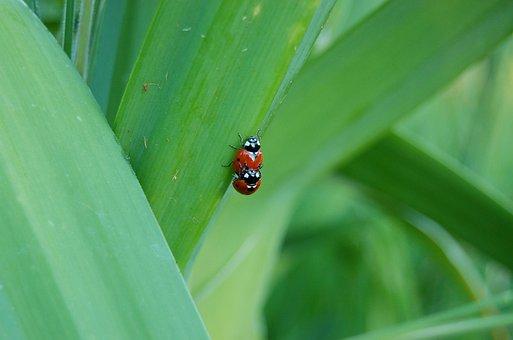 Ladybug, Ladybugs, Insect, Beetle, Nature, Leaf, Red