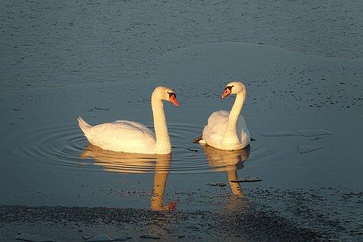 Swan, Swans, Waterfowl, Animal World, Bird, Waters