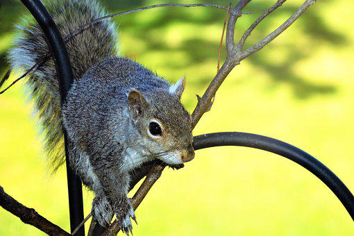 Squirrel, Young, Perched, Staring, Closeup, Black Eyes