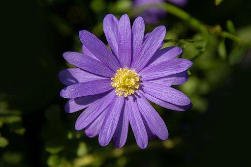 Anemone, Flower, Blossom, Bloom, Violet