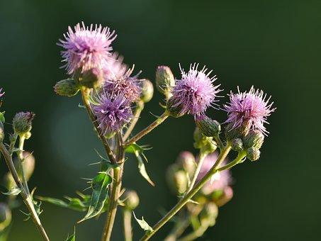 Diestel, Blossom, Bloom, Close Up, Prickly, Spur