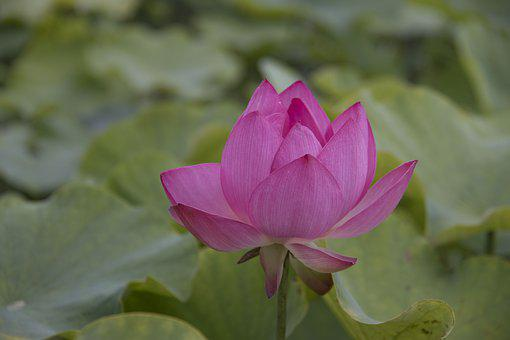 Lotus, Pond, Nature, Blossom, Bloom, Summer, Water