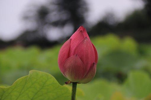 Lotus, Spring, Flower, Plant, Garden, Summer, Blossom