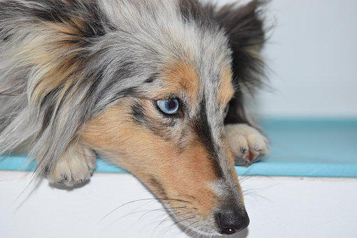 Dog, Bitch, Portrait, Blue Eye Dog, Shetland Sheepdog