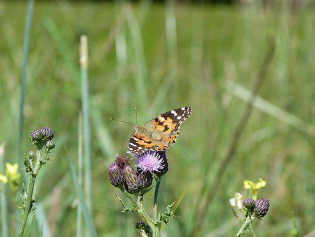 Butterfly, Red Admiral, Nature, Summer, Wildlife
