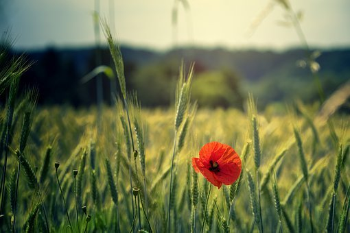 Poppy, Flower, Field, Red, Green, Cereals, Nature