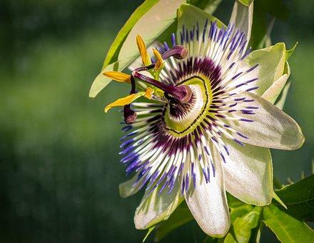 Passion Flower, Passiflora, Climber Plant, Blossom