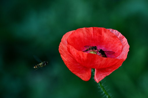 Corn Poppy Flower, Hoverfly, Garden, Nature, Blossom