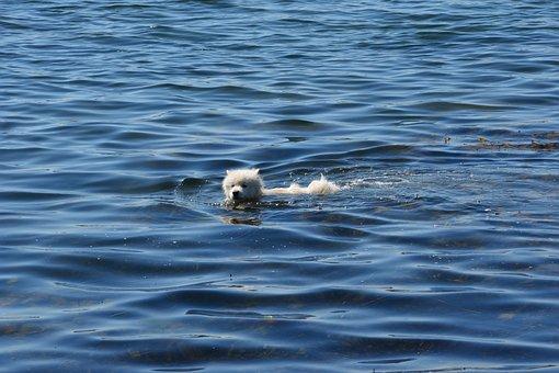 Dog, Water, Hundsim, Hundbad, Swim, Sea, Summer, Bath