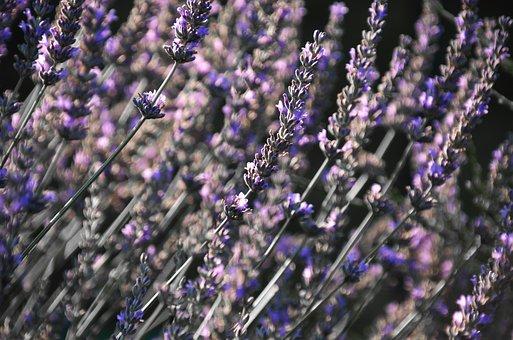 Lavender, English Lavender, Flower, Herb, Scent