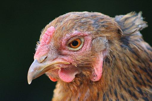Chicken Hen, Feather, Chicken, Poultry, Hen, Bird