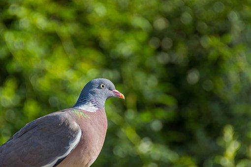 Dove, Bird, Feather, Bill, Wing, Eye, Animal World