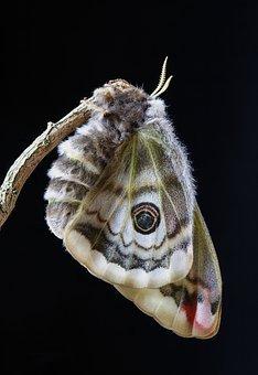 Moth, Emperor-moth, Female, Outdoor, Close, Colorful