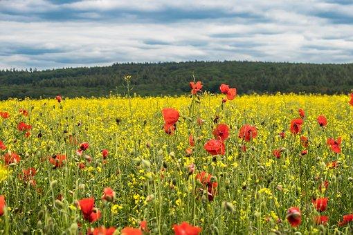 Oilseed Rape, Rape Blossom, Field Of Rapeseeds