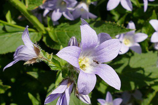 Campanula, Bells Flower, Plant, Flower, Flora, Purple
