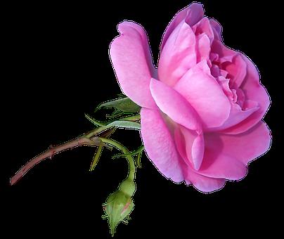 Flower, Rose, Pink, Bloom, Stem, Bud, Fragrant, Perfume