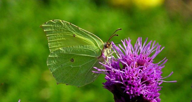 Butterfly, Insect, Flower, Latria Kłosowa, Violet