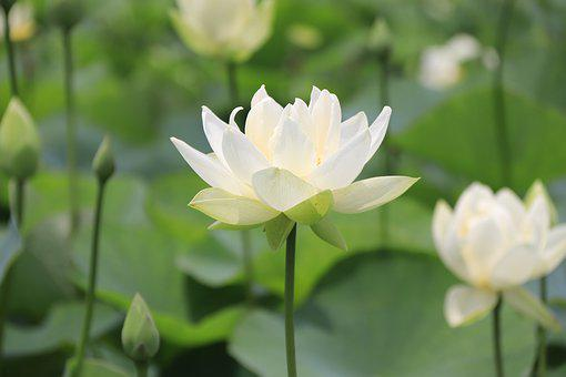 Lotus, Pond, Flower, Nature, Pink, Lake, Garden, Summer
