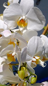 Orchid, Flower, Plant, White