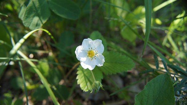 Wild Strawberry, Strawberry, Wildflowers, Flower, White
