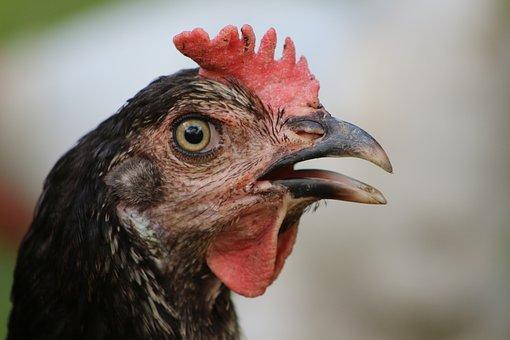 Chicken, Hen, Poultry, Free Range, Animal, Livestock
