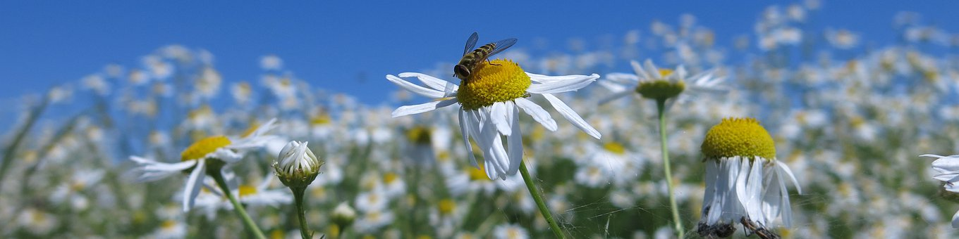 Banner, Chamomile, Flowers, Nature, Insect, Summer