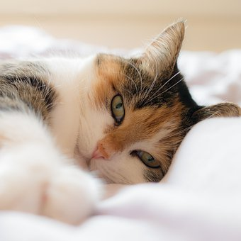 Cat, Kitty, Feline, Animal, Cute Kitten, Sleepy Kitten