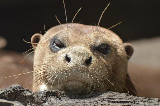 Otter, Head, Laid, Branch, Zoo, Ears, Eyes, Fur, Wild