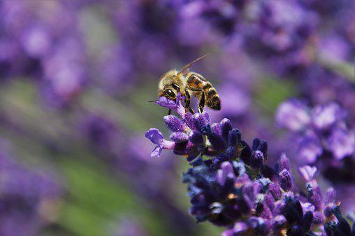 Pollination, Lavender, Provence, Insect, Violet