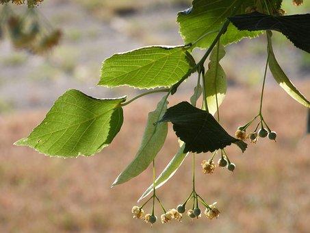 Lipa, Tree, Branch, Linden Flower, Foliage, Green