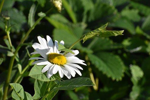 Daisy, Flower, Vjun, Macro, Bloom, White, Garden