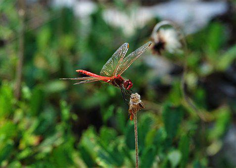 Dragonfly, Red, Animal, Insect, Flight Insect, Macro