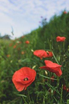 Mohn, Poppy Flower, Poppy, Perenn-mohn, Flower, Blossom