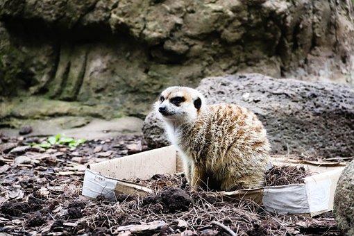 Meerkat, Park, Zoo, Nature, Wild, Ave, Fauna, Pond