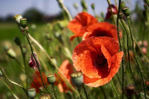Poppy, Nature, Red, Field, Summer, Garden, Flowers