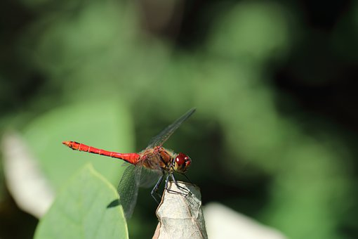 Animal, Close Up, Nature, Insect, Dragonfly