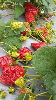 Strawberries, Food, Nature, Organic, Growing