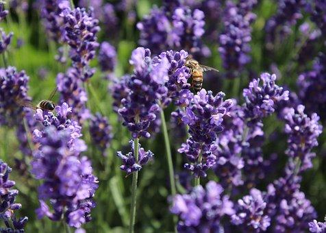 Nectar, Lavender, Bee, Pollen, Wing, Violet, Para