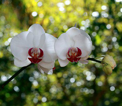 Orchid, Flower, Nature, White, Flowers, Flora, Spring