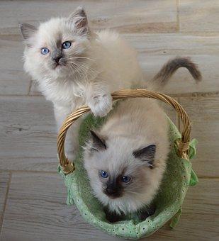 Ester, Easter Cat, Ragdoll, Ragdoll Cat, Pet, Animal