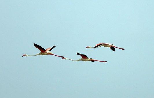 Bird, Greater Flamingo, Phoenicopterus Roseus, Wildlife