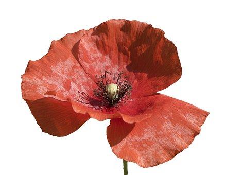 Poppy, Flower, Red, Summer, Plant, Pistils, Stamens