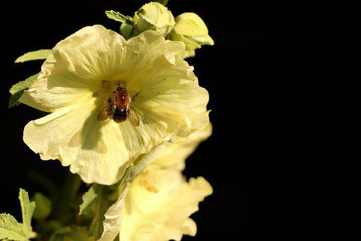 Mallow, Hummel, Flower, Flora, Insect, Visitors, Plant