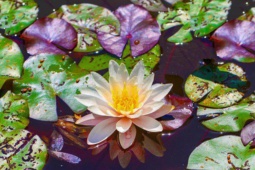Water Lily, Flower, Pond, Blossom, Bloom, Nature, Water