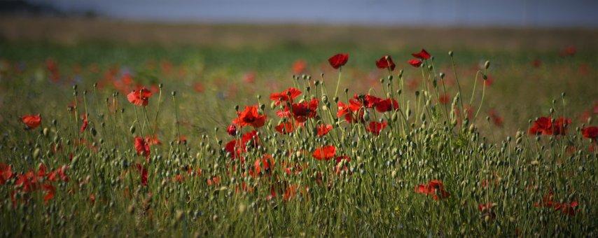 Poppy, Klatschmohn, Red, Poppy Flower, Nature, Summer