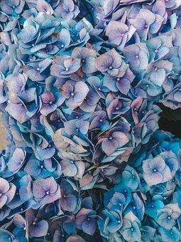 Hydrangea, Heat, Potted Flowers, Blue Color