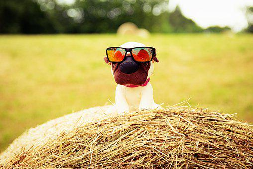 Dog, Sunglasses, Field, Puppies, Chihuahua, Happy