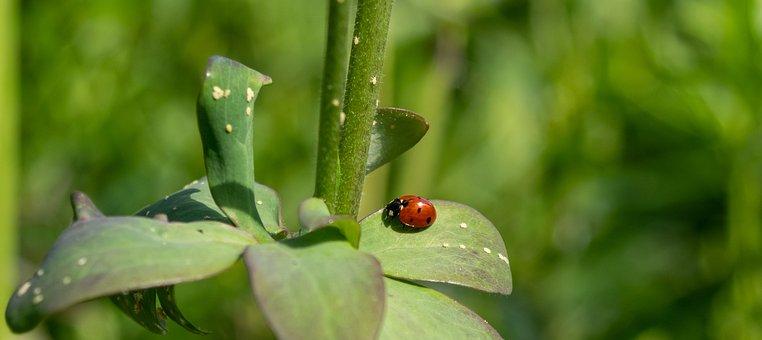 Ladybug, Siebenpunkt, Beetle, Red, Nature, Lucky Charm
